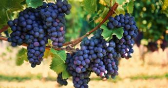 Vine with purple grapes